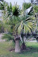 10 Samen Livistona chinensis,chinesische Schirmpalme#421