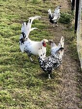 6 Silver Spangle Appenzellers Hatching Eggs....