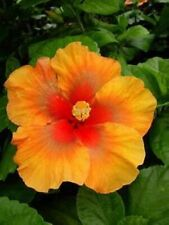 *Indian Summer* Rooted Tropical Hibiscus Plant*Ships Bare Root*