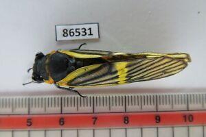 86531****Cicada sp. Vietnam Central*****