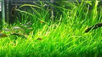 *Buy 2 GET 1 FREE*  Jungle Val Italian val vallisneria Live Aquarium Plants ✅