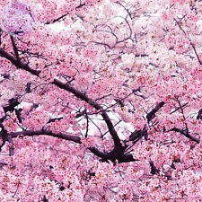 BELLFARM Japanese Pink Cherry Blossom Sakura Tree, 20 seeds