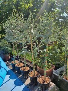 Eucalyptus gunnii Azura Hochstamm 1,2m Mostgummi frosthart Eucalyptus rar -20°C