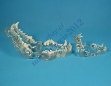 HS canine feline jaw teeth study model clear veterinary anatomy display teaching