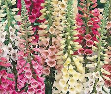Foxglove Excelsior Mix Digitalis Purpurea - 50,000 Bulk Seeds