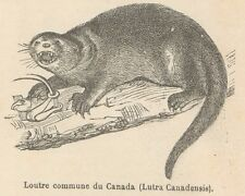 C8092 Lutra Canadensis - Stampa antica - 1892 Engraving
