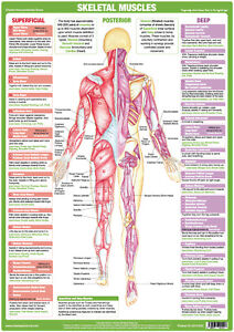 Muscle Anatomy Posterior Chart Bodybuilding Medical Poster