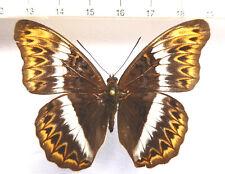 Nymphalidae, CYMOTHOE Herminia ssp.? Female, Rare Ex Rep. CENTRAFRICAINE n675a
