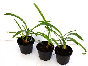 , 3 x Agapanthus schmucklilie