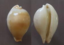 "Cypraea hirasei, 41.5mm, F+, ""CALLOUSED"""