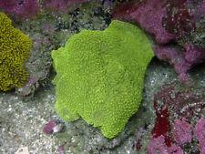 New listing Neon Hairy Mushroom Colony -Wysiwyg Live Coral Frag- Coral Savers