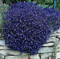 Rock Cress Seeds Cascading Blue - Heirloom Groundcover Seeds Perennial 50ct Pack