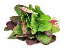 200 RED ORACH SEEDS-Mountain French Spinach-Giant Lambsquarters-NON GMO