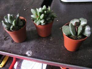 3 X ADROMISCHUS MIX, shown in 5.5cm pot, lovely, succulent