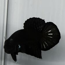 Live Betta Fish Black Star HMPK Male from Indonesia Breeder