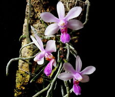 MOS.Orchid Species Phalaenopsis wilsonii (small seedling)