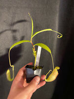 Nepenthes spathulata x glabrata. Large Female Rooted Cutting