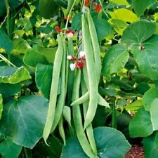 Runner Bean Painted Lady x 25 seeds (Red and White flowered)