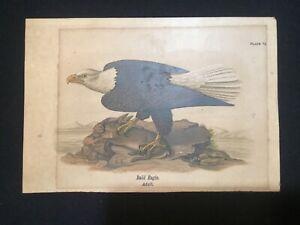 Antique Audubon Birds Of America Print Eagle with Rabbit Prey Chromolithograph ?