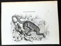 1850 De Buffon, Others 8 x Original Antique Prints Monkeys, Orang-utan & Lemurs