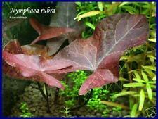 Nymphaea rubra - Live aquarium plant fish tank gallon
