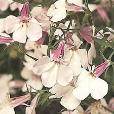 Lobelia Seeds Regatta Lilac Splash 50 Multi Pelleted Seeds