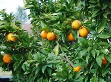 Plant Blood Orange Tree 1-2ft Tall Trees Fresh Fruit Outdoor Easy to Grow Garden