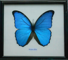Real BIG Blue MORPHO DIDIUS Butterfly Display Insect Collection Taxidermy Framed