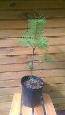 "New listing 12"" – 18"" Eastern White Pine – Pinus strobus – live tree"