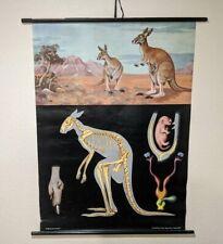 Jung Koch Quentell Vintage Pull Down Wall Chart Kangaroo Australian