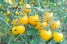 Golden Currant Tomato 5+ seeds