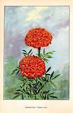 """1926 Vintage GARDEN FLOWER """"MARIGOLD"""" GORGEOUS COLOR Art Print Lithograph"""