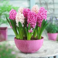 300Pc Hyacinth Seeds Easy To Grow Mixed Color Flower Seeds For Home Garden top