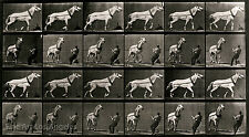 Eadweard Muybridge Photo, Vintage Motion Study, Horse pulling load, 1880s