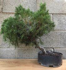 Hollywood Juniper Pre Bonsai Tree Evergreen Movement Big Thick Trunk