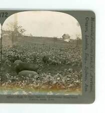 B731 Keystone 16715 Hogs In Rape Pasture Agri Experiment Station Ames Iowa D