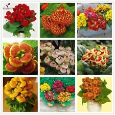 Calceolaria seeds Slipper Flower Indoor Pocketbook Plant Bonsai Flower Garden He