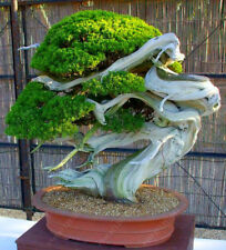Juniper Potted Tree Bonsai Seeds Purify the Air Absorb Harmful Gases - 50 Seeds