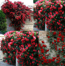 100Pcs Climbing Rose Seeds Rosa Multiflora Perennial Fragrant Flower Decor BT40