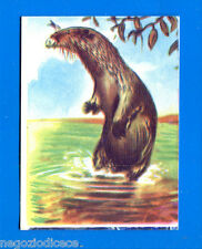 ANIMALI - Lampo 1964 - Figurina-Sticker n. 81 - LONTRA -New
