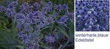 blaue Distel Duftkraut Pflanze Blume für das Zimmer den Balkon Garten mehrjährig