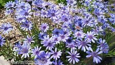 Felicia Heterophylla 25 Seeds, True Blue African Daisy Plants, Ships From USA