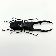Longjaw Beetle Cyclommatus metallifer finae (BLACK) Insect Specimen Taxidermy