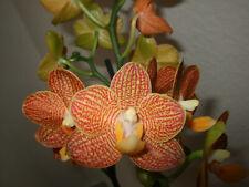 "Orchidee Phalaenopsis ""Indian Summer"" Schmetterlingsorchidee  5072 53-0820"