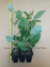 3 Rooted Hybrid Poplar Trees 9-18 In - Quick Growing, Shade, Firewood, Windbreak