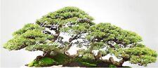 New listing 50 seeds Casuarina equisetifolia Australian Pine Tree Bonsai Ironwood Aged Look
