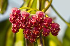 1 PLANT Hoya wayetii ***INCREDIBLE FLOWERS*** ONLY 1 PLANT no stapelia ceropegia