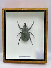 XYLOTRUPES GIDEON  - Echtes exotisches Insekt  im Schaukasten Holz