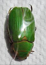Green Mexican Jewel Beetle Plusiotis zapoteca Chrysina FAST SHIP FROM USA