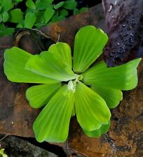 """Pistia stratiotes water lettuce live pond plant approx 4-5"""" across"""